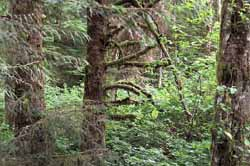 Lewis and Clark found Dense Forest around Fort Clatsop